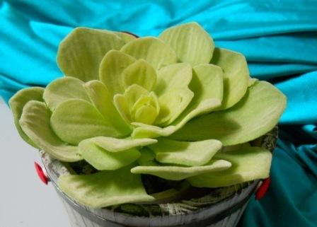 Pianta grassa di Sempervivum Grandiflorum in vaso