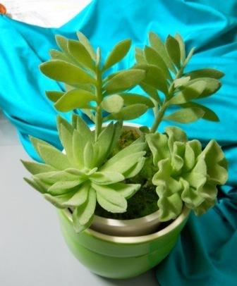 Piante grasse Succulente  Assortite in vaso per Fioristi e Garden