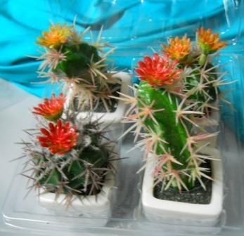 Box 4 Cactus Acantus Fiorito in vaso