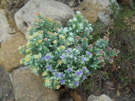 Polygala Myrtifolia x 7 alta cm.33 per fioristi e wedding