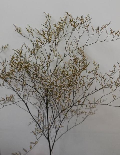 Limonium naturale H 70 preservato conf. gr. 100