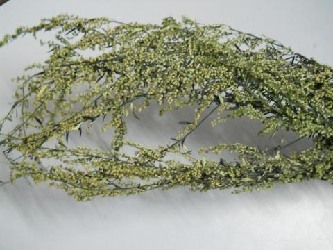 Mentina naturale H 90 preservata conf. gr. 100