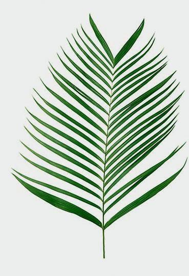 Kenzia - Areca preservata foglia H 100 - Sconti per Fioristi e Aziende
