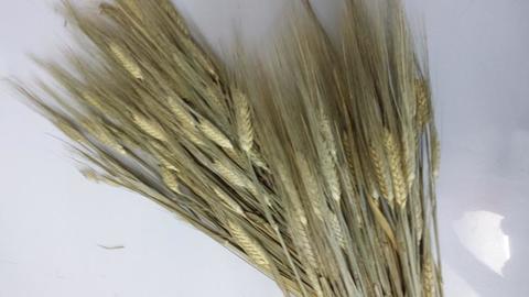 Orzo stabilizzato baffo verde gr. 200 H 70/80 per Fioristi, Wedding, Arredatori