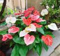 Anturium  plant