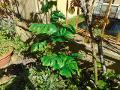 Filodendro con 6 foglie H 80 - Sconti per Fioristi e Aziende