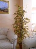 Acero Sage H 210  con 48 rami su tronco naturale