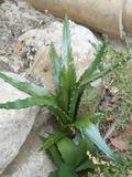 Pianta grassa di Aloe Vera  H 40 per Fioristi e Garden