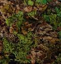 Muschio Querceto ( Oak Moss )  gr. 100