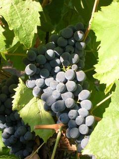 Barbatelle innestate di vite da vino Nero d'Avola VCR Dimensione 30/40 cm