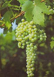 Barbatelle innestate di vite da vino Grecanico VCR Dimensione 30/40 cm