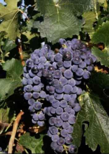 Barbatelle innestate di vite da vino Merlot VCR Dimensione 30/40 cm