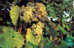 Barbatelle innestate di vite da vino Catarratto extra lucido VCR Dimensione 30/40 cm