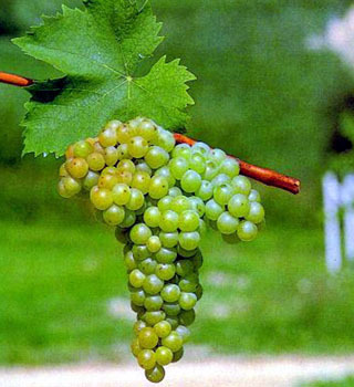 Barbatelle innestate di vite da vino Moscato Bianco VCR Dimensione 30/40 cm