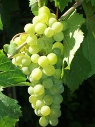 Barbatelle innestate di vite da vino Grillo VCR Dimensione 30/40 cm