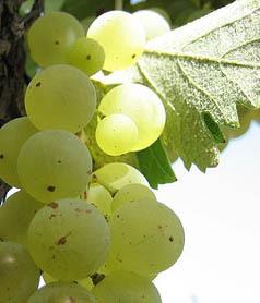 Barbatelle innestate di vite da vino Fiano VCR Dimensione 30/40 cm